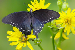 Black Swallowtail Butterfly (mnolen2) Tags: nature insect butterfly swallowtail black flower plant cupplant