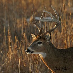 Big Buck Poses At Sunset (dcstep) Tags: bigwhitetaildeerbuck deer whitetaildeer whitetailbuck buck bigbuck spot fe400mmf28gmoss sonya9 handheld dxophotolab nature naturesanctuary natureurban wildlife aurora cherrycreekstatepark colorado copyright2019davidcstephens dsc8488dxo