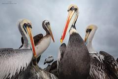 Peruvian Pelicans (www.jessfindlay.com) Tags: peruvianpelican pelecanusthagus pelican peru lima wwwjessfindlaycom jessfindlay jessfindlayphotography seabird humboldtcurrent