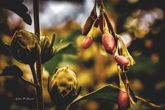 Fading Gold (BookSmellLover) Tags: autumn garden vintage jesień ogród nature flora macro closeup bokeh