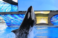 Malia (cberrios_photography) Tags: killerwhale orca maliaorca seaworld seaworldorlando malia