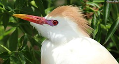 Candy Corn beak and Cotton Candy hair (Shannon Rose O'Shea) Tags: shannonroseoshea shannonosheawildlifephotography shannonoshea shannon cattleegret egret bird beak candycornbeak cottoncandyhair bubulcusibis white feathers headfeathers leaves bokeh shadows redeyes alligatorbreedingmarshandwadingbirdrookery gatorland orlando florida gatorlandbirdrookery rookery nature wildlife waterfowl flickr smugmug wwwflickrcomphotosshannonroseoshea outdoors outdoor outside colorful colourful colors colours art photo photography photograph closeup close profile wild wildlifephotography wildlifephotographer wildlifephotograph femalephotographer girlphotographer womanphotographer shootlikeagirl shootwithacamera throughherlens canongirl justagirlwithacamera canon camera canoneos80d canon80d canon100400mm14556lisiiusm eos80d eos 80d 80dbird canon80d100400mmusmii 2019 192 birdphotographer naturephotographer breedingplumage lores