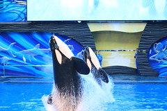 Trua and Malia (cberrios_photography) Tags: seaworld seaworldorlando orca killerwhale trua malia truaorca maliaorca