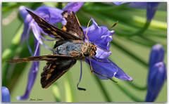 Butterfly on Agapanthus Flower (Bear Dale) Tags: small beaten up butterfly an agapanthus flower taken with nikkor 200500mm lens 500mm afs f56e ed vr ulladulla southcoast new south wales shoalhaven australia beardale lakeconjola fotoworx milton nsw nikond850 photography framed nature nikon bear d850 naturephotography naturaleza macro
