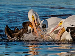 White Pelicans & Cormorant fighting over fish (Photo by Paul Allen) (Photos by the Swamper) Tags: cormorant pelican whitepelican