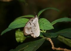 Blanchard's ghost - Idea blanchardii (nikolayloginov) Tags: butterfly бабочка indonesia sulawesi индонезия сулавеси