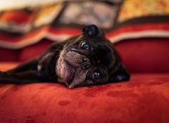 Sweet Gus (cathy sly) Tags: 35sigma gus blackpug pug