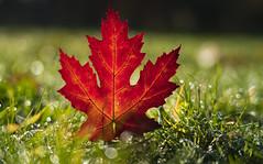 Aufrechtes Rot (KaAuenwasser) Tags: ahorn ahornblatt blatt rot farbe farben wiese rasen gras gräser natur tau wasser wassertropfen tropfen licht schatten sonne morgen november nah makro herbst herbstlich bokeh