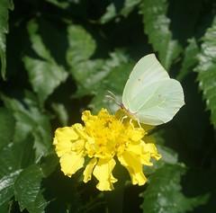 Бабочка на бархотке (lvv1937) Tags: pbwaphotographybywanderingabout photographyatitsbestallwelcome thisiswhyiboughtacamera бабочка цветок yourinsectspictures