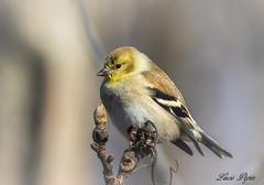 Chardonneret - American Goldfinch (Lucie.Pepin1) Tags: oiseaux birds chardonneret goldfinch nature wildlife luciepepin canon7dmarkii canon300mml