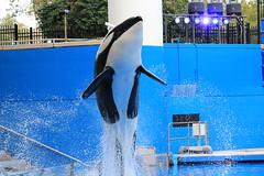 Malia (cberrios_photography) Tags: orca killerwhale malia seaworld seaworldorlando maliaorca