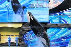 Katina (cberrios_photography) Tags: seaworld seaworldorlando orca katinaorca killerwhale katina