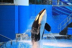 Malia (cberrios_photography) Tags: seaworld seaworldorlando orca killerwhale malia maliaorca