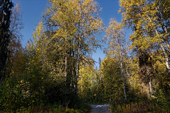 A Landscape Orientation to Trees in Talkeetna (thor_mark ) Tags: airbnbplacestayed alaska2019 autumn autumncolors autumnleafcolors autumnleaves azimuth270 blueskies bluesskieswithclouds colorefexpro day5 driveway drivewayentrance dxophotolab3edited evergreentrees evergreens imagecapturewitharsenal landscape lookingwest morninglight nature nikond800e outside partlycloudy project365 sunny talkeetnamountains talltrees talltreesallaround trees witharsenal talkeetna alaska unitedstates