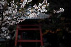 Blossom in Winter (somazeon) Tags: cherryblossom sakura winter flower