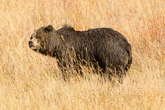 Looking bored with it all (ChicagoBob46) Tags: grizz grizzly grizzlybear bear boar yellowstonenationalpark yellowstone nature wildlife coth5 ngc naturethroughthelens npc
