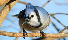 blue jay at Lake Meyer Park IA 653A9392 (naturalist@winneshiekwild.com) Tags: blue jay lake meyer park winneshiek county iowa larry reis