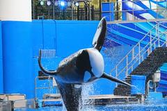 Trua (cberrios_photography) Tags: seaworld seaworldorlando orca trua truaorca killerwhale