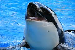 Trua (cberrios_photography) Tags: seaworld seaworldorlando orca killerwhale trua truaorca