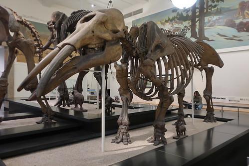 NYC - AMNH: Hall of Advanced Mammals - Gomphoterium