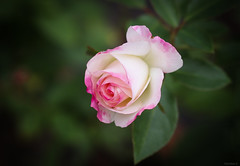 pink and white rose (Christine_S.) Tags: floralphotography roses rosegarden flowers flower japan nature closeup canoneosm5 ef100mmf28l gracekellyrose mirrorless hybridtearose garden ngc npc