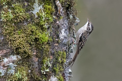 Sichuan Treecreeper: A bird new(ish) to science (Tim Melling) Tags: certha tianquanensis certhiatianquanensis sichuan treecreeper labahe tianquin county china timmelling