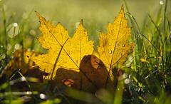 Ahorn Blatt (KaAuenwasser) Tags: ahorn blatt ahornblatt gelb gelbesblatt laub herbstlich herbst farbe licht gras grashalmen wiese tau wasser morgen sonne belichtung natur nah makro bokeh schatten ngc