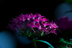 Give Me Light (Ken Mickel) Tags: beautiful floral flower flowers hydrangea kenmickelphotography plants blossoms closeup nature photography