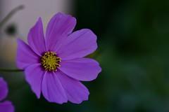 Sans titre - Explored (AlainC3) Tags: fleurs flowers nature plante rose pink jaune yellow nikond7500 afmicronikkor60mmf28d