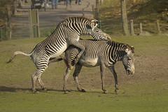 Grévy zebra - Safaripark Beekse Bergen - Hilvarenbeek (Jan de Neijs Photography) Tags: dierentuin zoo dierenpark nl holland thenetherlands dieniederlande diergaarde animal dier beeksebergen safaripark safariparkbeeksebergen hilvarenbeek grévyzebra zebra equusgrevyi sbb noordbrabant paard zwartwit horse tamron150600g2 tamron150600 150600 tamron g2