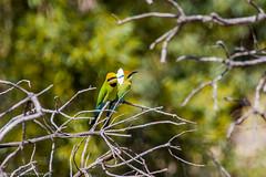 Rainbow Bee-eater (Merops ornatus) (BiteYourBum.Com Photography) Tags: dawnandjim apple australia westernaustralia allrightsreserved biteyourbum canoneos7d sigma50500mmf4563dgoshsm biteyourbumcom dawnjim imac5k lightroom6 copyright©biteyourbumcom copyright©2019biteyourbumcom bird birds rainbow perth wa beeeater northlake merops ornatus bibra rainbowbeeeater meropsornatus beeliarregionalpark