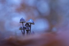 IMG_7050 - Une famille (mycene ???) (mp mapa) Tags: yvelines france nature foret macro proxi automne champignon