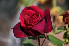Dark Desire Hybrid Tea Rose in Ramona, California on November 23, 2019 (Ramona Pioneer Girl) Tags: nikon nikond3500 nikonphotography dark desire tea rose hybrid red