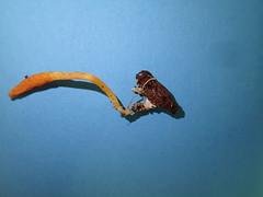 Cordyceps militaris / Puppen-Kernkeule