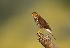 Sharp-shinned Hawk (X9B_6783-2-1) (Eric SF) Tags: sharpshinnedhawk hawk raptor coyotehillsregionalpark fremont ca