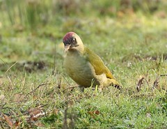 Green Woodpecker (Bogger4.) Tags: greenwoodpecker coth5 sunrays5 ngc npc feedingonants grass dew earlymorning