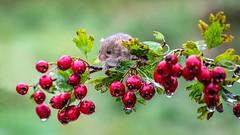 Mouse and red berries (waynedavey67) Tags: mouse harvestmice harvestmouse rodent mammal berry berrys red wet