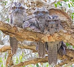 The trees have eyes :) (christinaport) Tags: tawnyfrogmouth frogmouth eyes nsw australia australian bird birds wild free fledglings