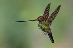 Sword-billed hummingbird (Eric Gofreed) Tags: ecuador ensiferaensifera guangolodge hummingbird multiflashphotography swordbilledhummingbird