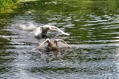 The chase (nigel@hornchurch) Tags: luminar p1020983 swan kew gardens