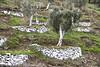 SELÇUK, IZMIR, TURKEY (Manel Armengol / Files) Tags: mediterraneansea marmediterraneo marmediterrani mediterraneanpromenade europe mediterraneancountries maregeo aegeansea turkeywestcoast turkey turquia türkiye sotheasterneurope westernasia selçuk manelarmengolphotographs mediterraneo mediterrani ancientandmonumentalolivetreesinmediterraneancountries antiguosolivos olivosmilenarios olivoscentenarios olivosmonumentales anciensoliviers ancienttreesworld olivier olivetree oliveoil aceitedeoliva aceitunas olivas olives olivenalthistorischundmonumental olivenbaum tausendjahrigeolivenbaum oliviers древниеоливковыедеревья 古老的橄榄树 古代オリーブの木 olivemonumentalineipaesimediterranei 地中海国家的土地生物 أشجارالزيتونالضخمةفيبلدانالبح монументальныеоливковые akdenizülkelerindeanitzeytinağaci zeytinyaği naturalezamonumental monumentosdelanaturaleza monumentsofnature protectmilenaryolivetrees protegerlosolivosmilenarios oldolivetrees salvemoslosolivosmilenarios worldoliveday millenaryolivetrees westernanatolia aegeancoast turkeytürkiyeturquia أشجارالزيتونالضخمةفيبلدانالبحرالمتوسط izmir