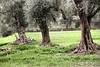 BALAT, DIDIM, AIDYN, TURKEY (Manel Armengol / Files) Tags: manelarmengolphotographs mediterraneo mediterrani mediterraneansea mediterraneanpromenade mediterraneancountries ancientandmonumentalolivetreesinmediterraneancountries antiguosolivos olivosmilenarios olivoscentenarios olivosmonumentales anciensoliviers ancienttreesworld olivier olivetree oliveoil aceitedeoliva aceitunas olivas olives olivenalthistorischundmonumental olivenbaum tausendjahrigeolivenbaum oliviers древниеоливковыедеревья 古老的橄榄树 古代オリーブの木 olivemonumentalineipaesimediterranei 地中海国家的土地生物 أشجارالزيتونالضخمةفيبلدانالبح монументальныеоливковые akdenizülkelerindeanitzeytinağaci zeytinyaği naturalezamonumental monumentosdelanaturaleza monumentsofnature protectmilenaryolivetrees protegerlosolivosmilenarios oldolivetrees salvemoslosolivosmilenarios worldoliveday millenaryolivetrees balat didim aidyn westernanatolia aegeancoast aegeansea maregeo turkey didimaydin أشجارالزيتونالضخمةفيبلدانالبحرالمتوسط