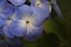 Thanks for the Dance (shawn~white) Tags: ©shawnwhite fujifilmxt2 blue green garden allure beauty demure charm harmonious luxurious purity pure floral flower hydrangea hortensia fujinonxf60mmf24macro closeup macro