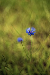 Centaurea cyanus (Yuri Macsimov) Tags: domiron centaurea cyanus macro meyer optik gorlitz f2 flowers wild wildlife forest meadow background bokeh depthoffield nature natural sony a7r3 a7riii colorful flora plant floral summer