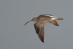 Whimbrel (Phil Gower Bird Photography) Tags: wader whimbrel