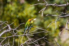 Rainbow Bee-eater (Merops ornatus) (BiteYourBum.Com Photography) Tags: dawnandjim dawnjim biteyourbum biteyourbumcom copyright©2019biteyourbumcom copyright©biteyourbumcom allrightsreserved canoneos7d sigma50500mmf4563dgoshsm apple imac5k lightroom6 australia westernaustralia wa perth bird birds bibra beeliarregionalpark northlake rainbow beeeater merops ornatus rainbowbeeeater meropsornatus