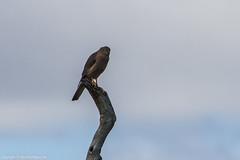 Collared Sparrowhawk (Accipiter cirrocephalus) (BiteYourBum.Com Photography) Tags: dawnandjim apple australia westernaustralia allrightsreserved biteyourbum canoneos7d sigma50500mmf4563dgoshsm biteyourbumcom dawnjim imac5k lightroom6 copyright©biteyourbumcom copyright©2019biteyourbumcom bird birds perth wa sparrowhawk collared northlake accipiter bibra collaredsparrowhawk accipitercirrocephalus cirrocephalus beeliarregionalpark