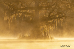 Burning Cypress_MG_6835 (Alfred J. Lockwood Photography) Tags: morning autumn fall silhouette landscape flora louisiana atchafalayabasin spanishmoss goldenhour cypresstree cajuncountry iberiaparish alfredjlockwood nature