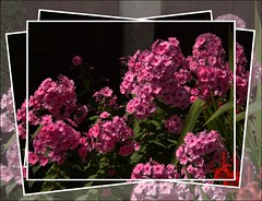 Pink Phlox (Audrey A Jackson) Tags: canon60d flower phlox pink colour nature perfume beauty