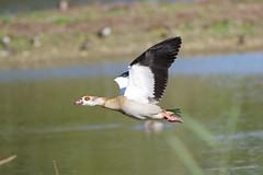 K32P0929c  Egyptian Goose, Lackford Lakes, October 2019 (bobchappell55) Tags: lackfordlakes wild bird wildlife nature egyptiangoose alopochenaegyptiaca flight